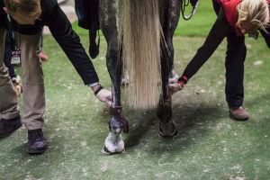eläinlääkärit tutkivat hevosen jalkoja
