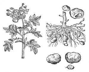 Opetuspiirros peruna - kasvista