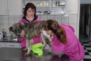 Salla Honkapää ja steriloitava koira Rosiorin eläinklinikalla Romaniassa.