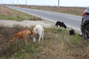 romanialaisia katukoiria maantien varressa