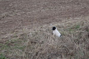 koira pellon laidalla