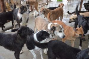 useita koiria pienessä häkissä rosiorion kunnallisella koiratarhalla Romaniassa