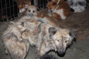 laiha koira häkissä romaniassa