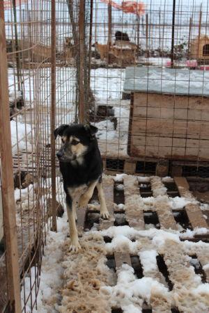 jalkansa loukannut koira talvella häkissä romaniassa