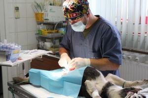 koira makaa pöydällä ihminen steriloi romaniassa