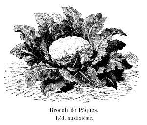 Kukkakaali Korva