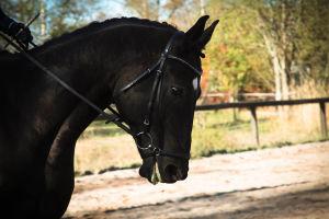 tumman hevosen pää