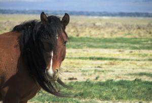 Mustangi preerialla.