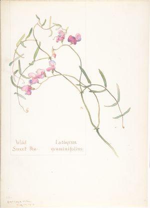 Wild Sweet Pea, Lathyrus graminifolius; Margaret Neilson Armstrong