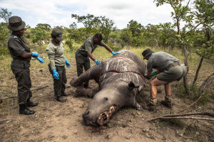 Mr Frikkie Rossouw (R), of the SANParks' Environmental Crime Investigations Unit, is assisted in the preparation of the carcass of a rhino killed for its horn for postmortem, Kruger National Park, South Africa, 04 February 2015. During the procedure he ex