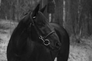 Hevonen pellolla
