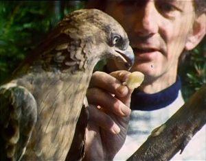 Anthony Bosley ruokkii lintukodissa kuntoutuvaa haukkaa 1980.