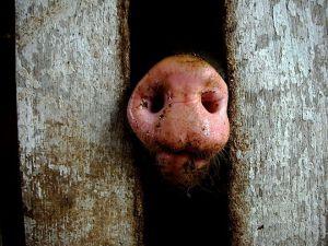 sian kärsä näkyy aidan välistä