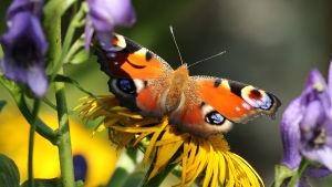 Neitoperhonen auringontähden kukassa.