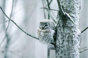 Helmipöllö talvella lumisessa puussa.