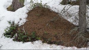 muurahaispesä puoliksi paljastunut