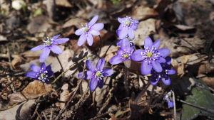 sinivuokot kukkivat