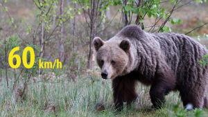 Björnen springer 60km/h