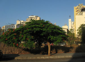 puu kukkii beirutin keskustassa