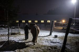 Salla Huhtala kävelee Väiski-hevosen kanssa kohti hevostallia.