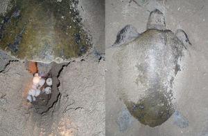 En sköldpadda som lägger ägg på en strand.