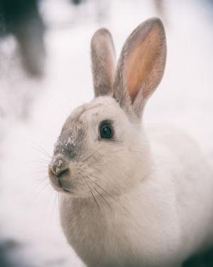 En kanin av rasen Gotlandskanin.