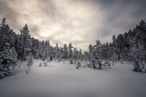 Barrskog i vinterskrud.
