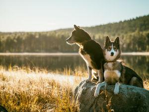 Två hundar på en sten invid vattnet.