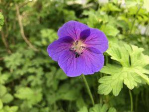 Närbild på blålila blomma.