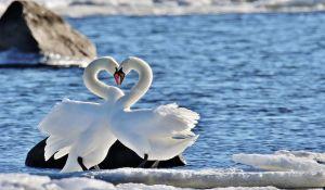 Svanpar som ställt sig näbb mot näbb så att halsarna bildar ett hjärta