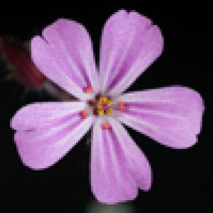 Vertailukuva kukasta, runsaasti pikseleitä vs. vähän pikseleitä.