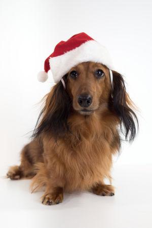 Kuvassa Uuden Päivän joulujaksossa näytellyt Kerttu-koira.