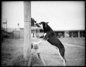 Koira soittaa puhelimella.