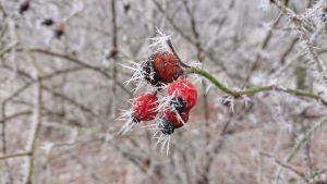 röda bär på en bar kvist