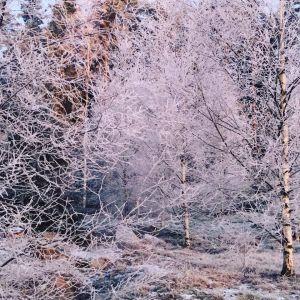 snöiga träd