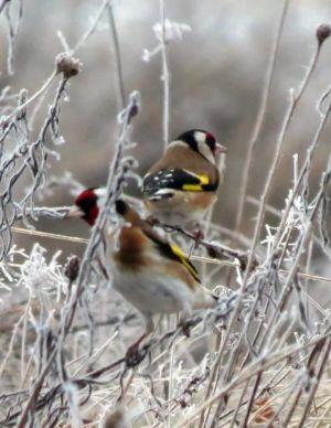 två småfåglar i en buske