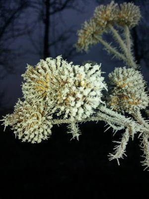 en frostig växt