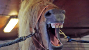 Lähikuva suu auki hirnuvasta hevosesta
