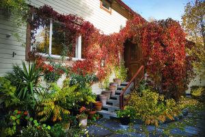 Ruskan väreissä hehkuva villiviini talon rehevän sisäänkäynnin ympärillä
