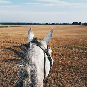 Bilden är tagen från hästryggen. Man ser hästens huvud ovanifrån och man ser att de rider på en åker. Hästen är silvergrå.