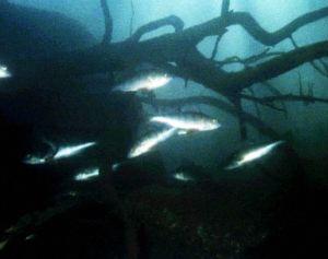 Koloveden järvissä asustaa myös monia kalalajeja.