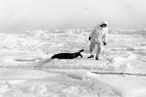 Mustavalkoinen kuva: Valkoisiin pukeutunut mies raahaa kuollutta hyljettä jäällä.