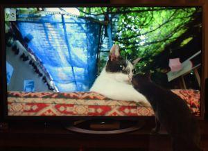 Taku-kissa katsoo dokumenttielokuvaa Istanbulin kissat.