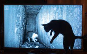Tiku-kissa katsoo dokumenttielokuvaa Istanbulin kissat.