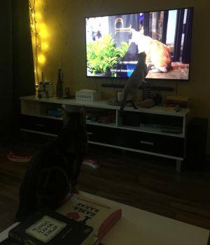 Eeden ja Martha-kissat katsovat dokumenttielokuvaa Istanbulin kissat.