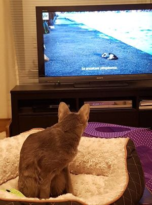 Hertta-kissa katsoo dokumenttielokuvaa Istanbulin kissat.