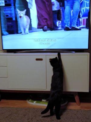 Ester-kissa katsoo dokumenttielokuvaa Istanbulin kissat.