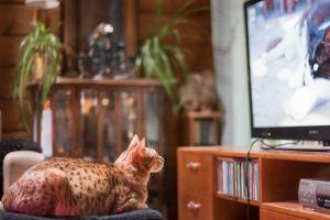 Sulo Gunvald -kissa katsoo dokumenttielokuvaa Istanbulin kissat.