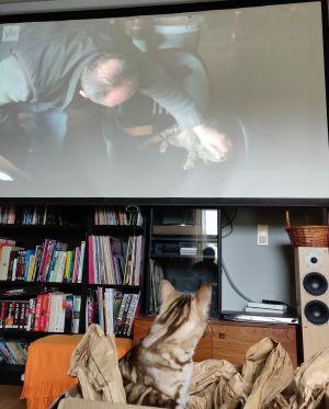 Auri-kissa katsoo dokumenttielokuvaa Istanbulin kissat.