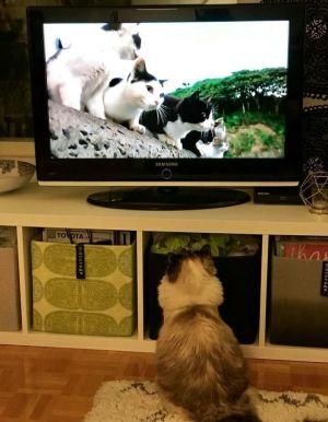 Nelli-kissa katsoo dokumenttielokuvaa Istanbulin kissat.